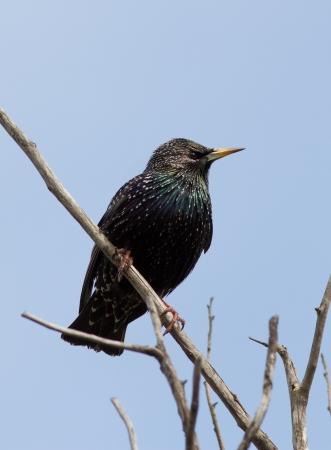 Starling (Sturnus vulgaris) sitting on a dead branch. Stok Fotoğraf