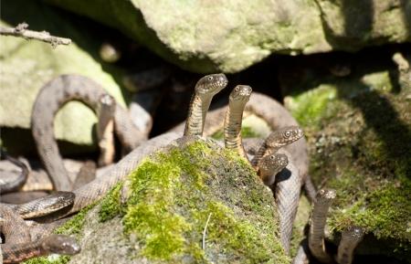 natrix: Wedding water snakes (Natrix tessellata) spring day.