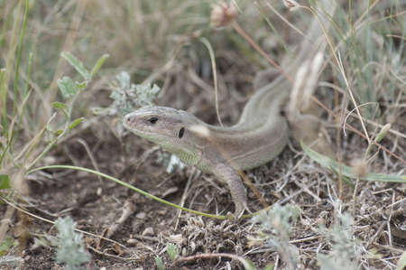 lacerta: Lizard (Lacerta agilis) in summer steppe grass. Stock Photo