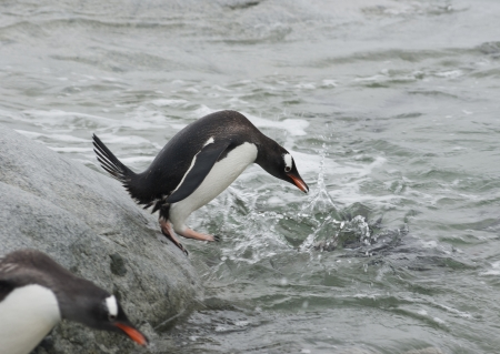 gentoo penguin: Gentoo penguin before jumping into the water.
