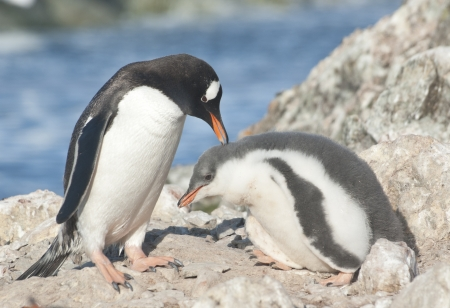 pygoscelis papua: Adult gentoo penguin (Pygoscelis papua) and chick. Stock Photo