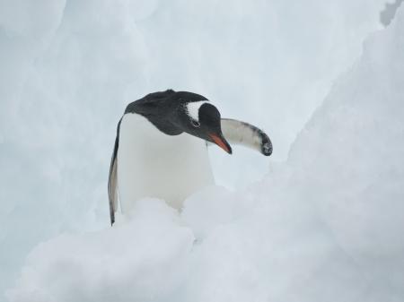 crevasse: Gentoo Penguin (Pygoscelis papua) in a snow crevasse.