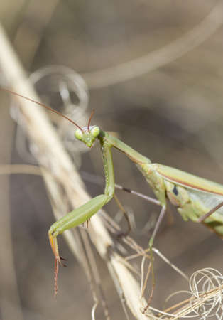 european mantis: Portrait of a  European Mantis  (Mantis religiosa) on the grass. Stock Photo
