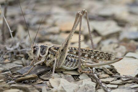 arthropoda: Brown grasshopper in summer steppe.