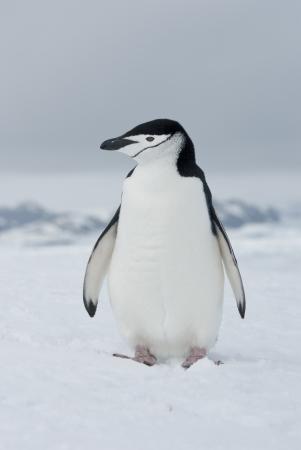 Antarctic penguin  Pygoscelis antarctica  winter overcast day