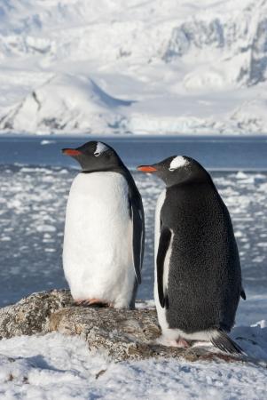 Gentoo penguin  Pygoscelis papua  couple on the background of the glaciers  Stok Fotoğraf