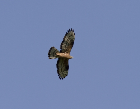 Honey buzzard soaring above the meadow in the blue sky.