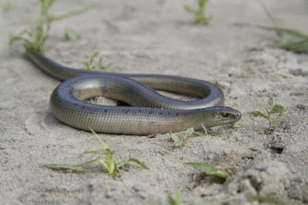 slow worm: Male slow worm (Anguis fragilis) on the sand.