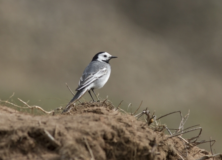 White Wagtail on the steppe slopes in early spring.