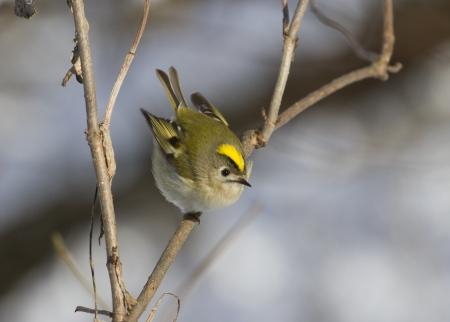 Goldcrest (Regulus regulus) sitting on the branch of a tree in winter. Imagens