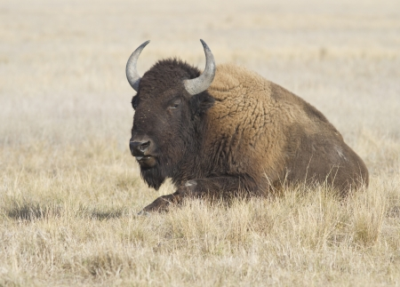 ungulates: Female bison resting in autumn Ukrainian steppe. Stock Photo