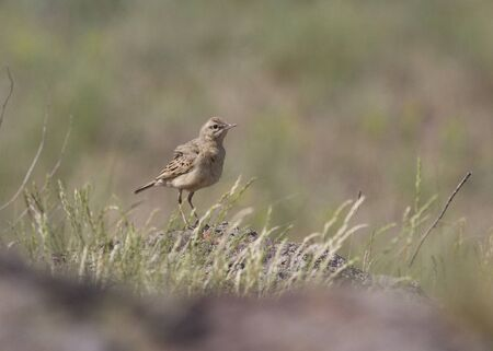 tawny: Tawny Pipit sitting in a rocky steppe.