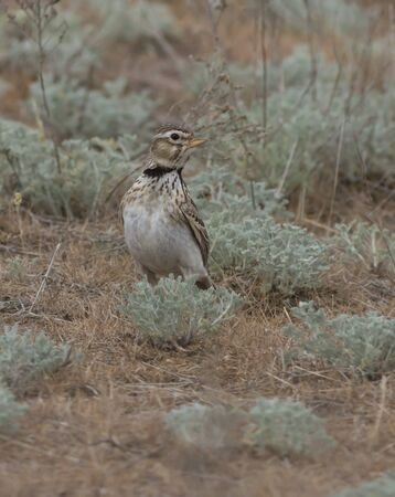 sagebrush: Male steppe lark sitting on the ground in the sagebrush steppe. Stock Photo