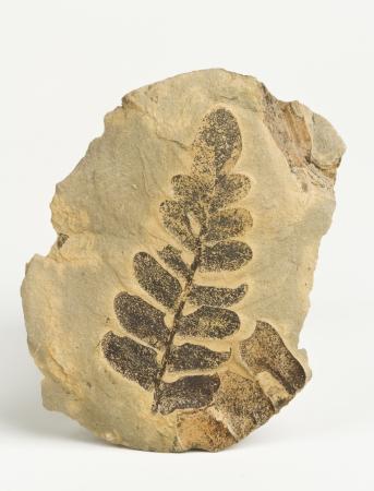 carboniferous: Carboniferous plants imprint on the rock