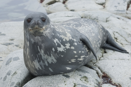 Weddell seals on the rocks of the Antarctic Islands.