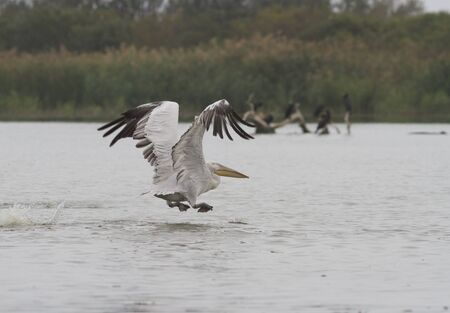 Dalmatian Pelican taking off from water r  Danube  photo