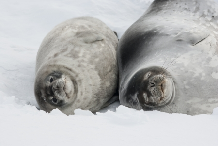 Female and baby Weddell seal lying in the snow winter day  Imagens