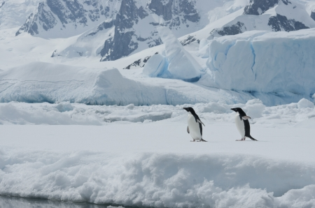 Two Adelie penguins on the ice among icebergs spring day