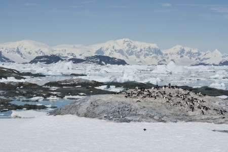 penguin colony: Adelie penguin colony on a deserted island Antarctic spring.
