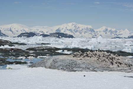 pinguinera: Colonia de ping�inos Adelia en una isla desierta primavera ant�rtica.