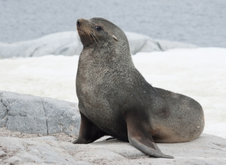 Male fur seal sitting on a rock on the coast of the Antarctic islands.