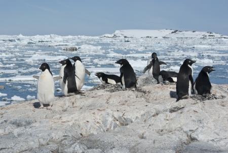 penguin colony: Adelie penguin colony on the rocky Antarctic island bright summer day. Stock Photo