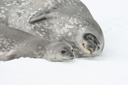 Female and baby Weddell seal lying on the pack ice of Antarctica.