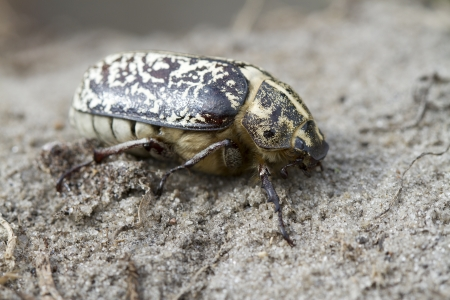 Female Polyphylla fullo sitting in the sand on a summer evening. photo