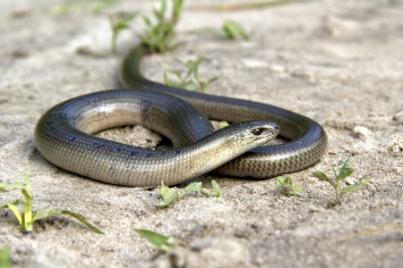 Legless lizard Slow Worm lying on the sand on the edge of the forest on a summer day