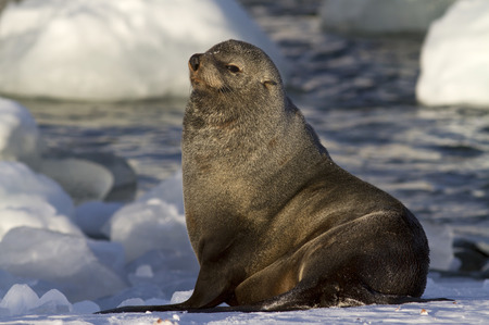 minke: male fur seal resting on a snowy bank of Antarctic islands