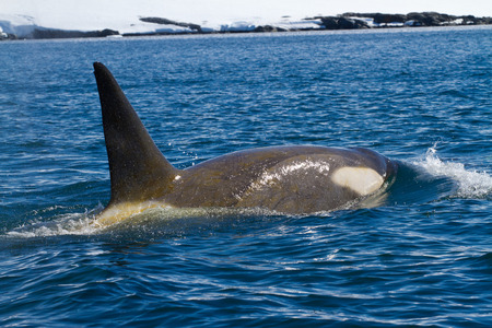 male killer: male killer whales sailing along the coast of the Antarctic Islands Stock Photo