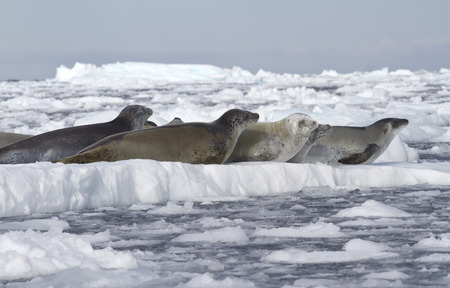 minke: crabeater seals flock resting on an ice floe near the Antarctic Peninsula 1