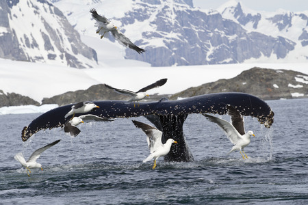 minke: humpback whale tail that dives during feeding in Antarctic Islands 1