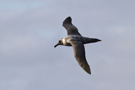 sooty: Light-mantled Sooty albatross flying against the blue sky