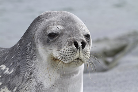 minke: Portrait of a Weddell seal lying on one of the Antarctic islands 1