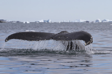minke: humpback whale tail that dives during feeding in Antarctic Islands