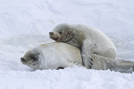 minke: male and female cynomolgus seals during the breeding period Stock Photo