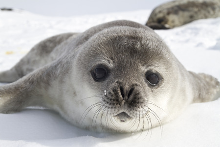 Weddell seal pups on the ice of the Antarctic Peninsula Stock Photo