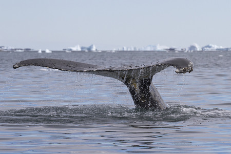 minke: humpback whale tail diving in Antarctic waters