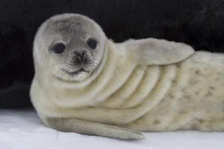 minke: Weddell seal lying
