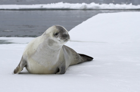 minke: crabeater seal on an ice floe in the Antarctic waters