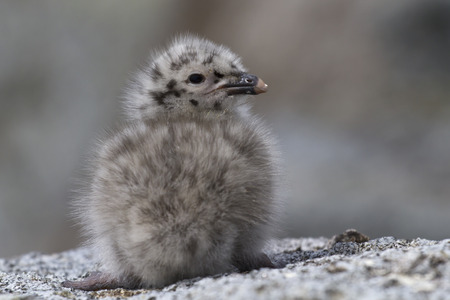 Dominican gull chick sitting on the rocks of the Antarctic Islands photo