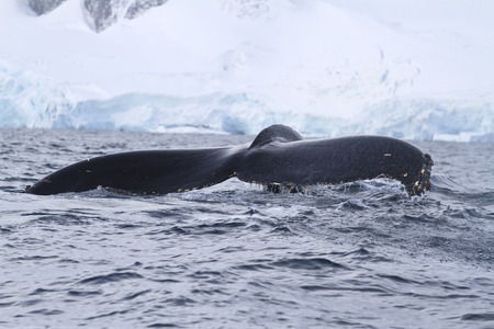 minke: Humpback whale tail, which dives into Antarctic waters autumn day