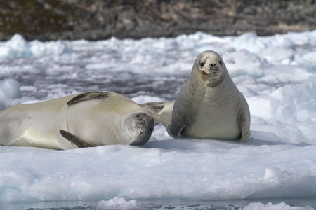 minke: two crabeater seal on an ice floe near the Antarctic Peninsula Stock Photo