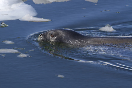 minke: Weddell seal sailing among ice floes along the Antarctic Islands
