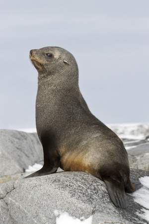 weddell: young fur seal sitting on the rocks of the Antarctic Islands