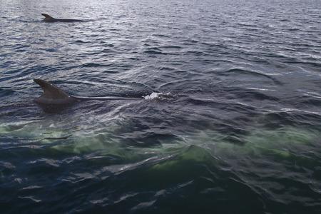 antarctic peninsula: couple of minke whales swimming along the Antarctic Peninsula