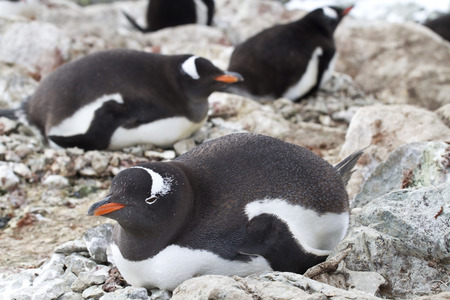 incubate: Gentoo penguins incubate in a colony on the Antarctic islands