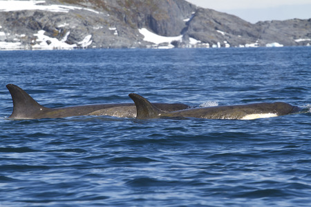 minke: group of killer whales swimming along one of the Antarctic islands