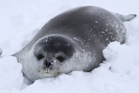 minke: Weddell seal pup in the snow in Antarctica Stock Photo